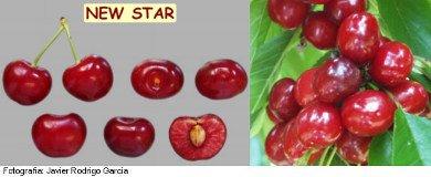 cerezo New Star, variedad de cereza New Star, cereza media estación