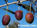 Cornezuelo es una variedad de aceituna de doble aptitud (Mesa, aceite)