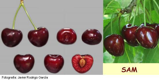 Imagen Cereza Sam, variedad de cerezo Sam cereza de maduración media