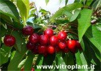 Tipos de cereza: Pacific Red