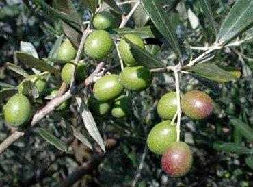 Oliva di Cerignola, variedad de aceituna Cerignola