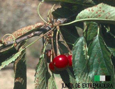 Rama de cerezo infectada por la antracnosis