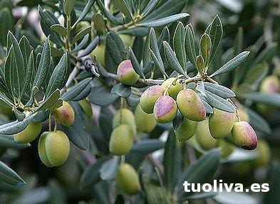Variedad de aceituna Picudo, Olivo Picudo,