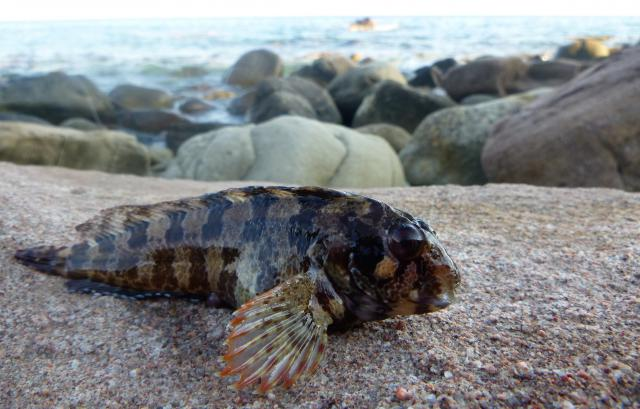 http://img110.xooimage.com/files/0/8/0/blennie-rockfishing-54dc445.jpg