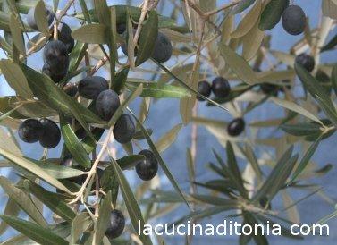 aceituna italiana Leccino