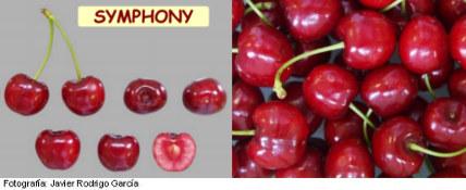 Imagen Cereza Symphony, variedad de cerezo Symphony (Selina) cereza de maduración muy tardía