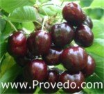 Cereza Picota Black Star