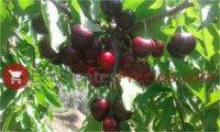 Tipos de cereza: 3-13