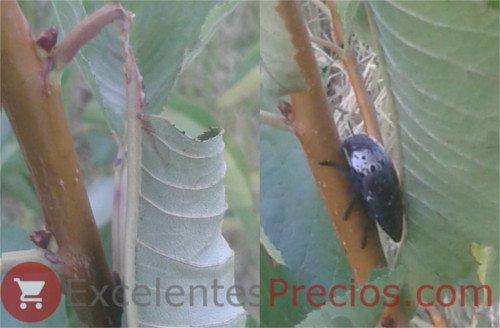 Gusano Cabezudo sobre rama de cerezo, Capnodis tenebrionis