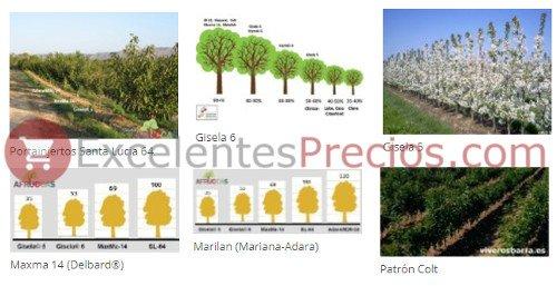 Portainjertos de cerezo (Maxma14, Delbard, Santa Lucia, Marilan, Mariana, Adara, Colt, Gisela