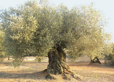 Olivo Farga, olivar centenario de la variedad Farga