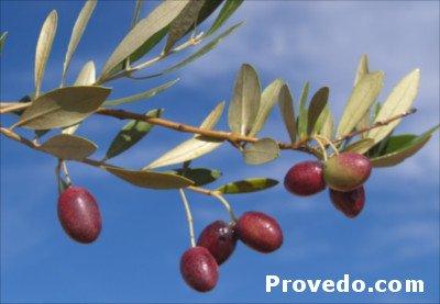 olivo Picholine Marocaine, árbol