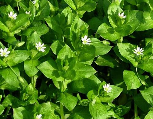 Les plantes comestibles que vous pouvez trouver dans votre jardin. E-et-cie-mouron-blanc-545151d