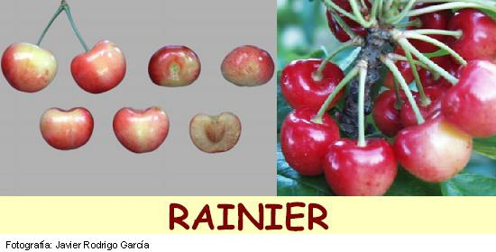 cerezo Rainier, variedad de cereza Rainier media estación