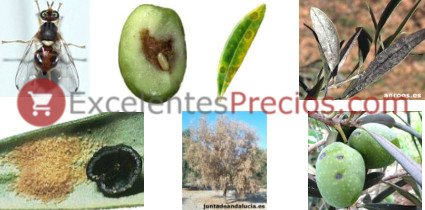 Enfermedades del olivo, plagas del olivo, información y tratamientos. Mosca, repilo, negrilla, cochinilla, verticillium y cochinilla violeta