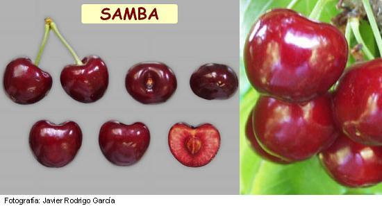 Cereza Picota Samba, Picota de maduración media