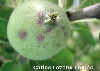 Manzana dañada por el Piojo de San José