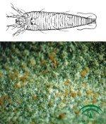 Acariosis o erinosis del olivo, ácaros del olivo