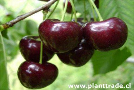 Foto Cereza Kordia, variedad de cerezo Kordia (Attika), cereza de maduración tardía