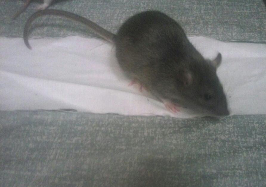 mes petits ratounets. - Page 2 Picsart_1406316012234-46d86ae