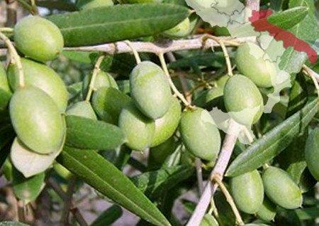 Olivo italiano Ogliarola Barese (Apulia)