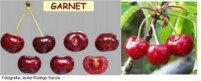 Tipos de cereza: Garnet