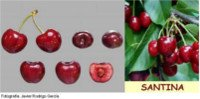 Tipos de cereza: Santina