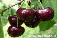 Tipos de cereza: Kordia