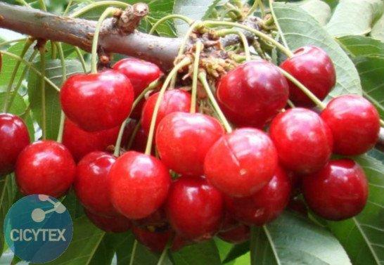 Imagen Cereza Staccato, variedad de cerezo Staccato (Sumer Charm), 13S 20-09 cereza de maduración muy tardía