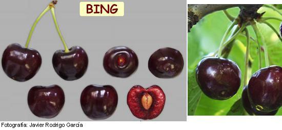 cerezo Bing, variedad de cereza Bing media estación