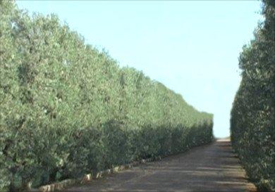 Olivo Frangivento, formación en seto para cortavientos, Cipressino