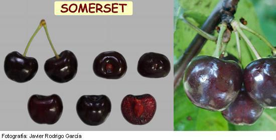 Variedad de Cereza Sommerset, cereza Picota de maduración tardía
