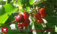 Tipos de cereza: Sweet Heart