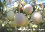 Olivo Blanqueta