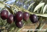 Variedad de aceituna Picudo
