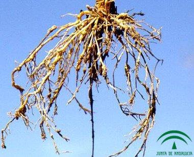 Nematodo de las agallas, raíces infectadas