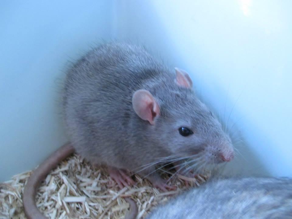 [Rongeurs en Destress] 5 rats males issus de saisie (6 mois) Red0494-46f4433