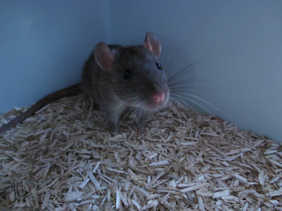 [Rongeurs en Destress] 5 rats males issus de saisie (6 mois) Red0496-46f4438