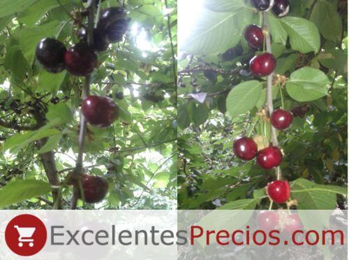Árbol Cereza Early Lory, rama con cerezas variedad Early Lory, cerezas rajadas, cereza sensible al cracking