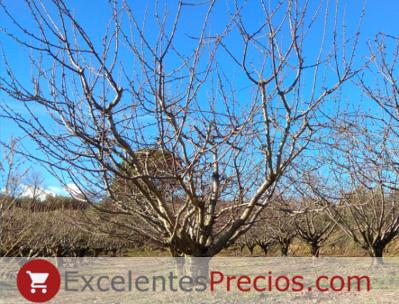 Prunus avium, cerezo dulce, árbol cerezo