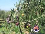 Plantación de olivo Sikitita en seto