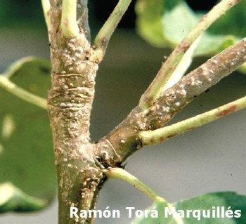 Piojo de San José (Quadraspidiotus perniciosus) sobre rama