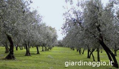 Olivos Italianos variedad moraiolo