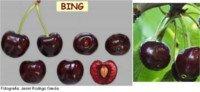 Tipos de cereza: Bing