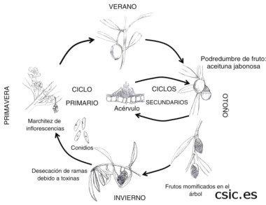 Ciclo anual de la aceituna Jabonosa