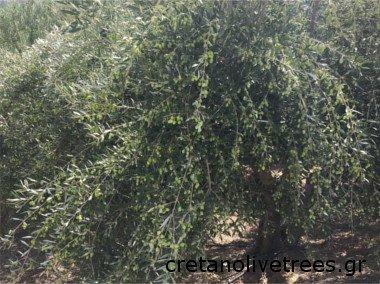 Olivo Koroneiki, variedad de olivo griega