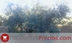 Olivo Picual, tipos de olivo