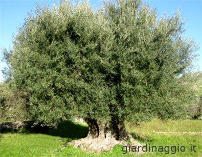 Olivo Maurino, árbol centenario