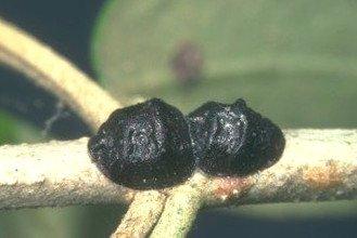 cochinilla del olivo
