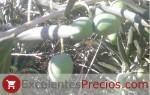variedades de aceituna de mesa, aceituna Gordal, olivo Gordal sevillana